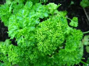 nutritional benefits of parsley